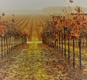 Questions   Withered Vineyard