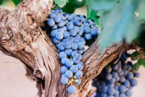 Old Vine (Spain)
