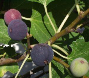 Lovely figs nearing harvest.